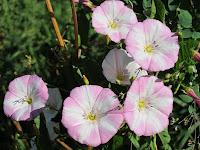 лекарственное растение вьюнок полевой