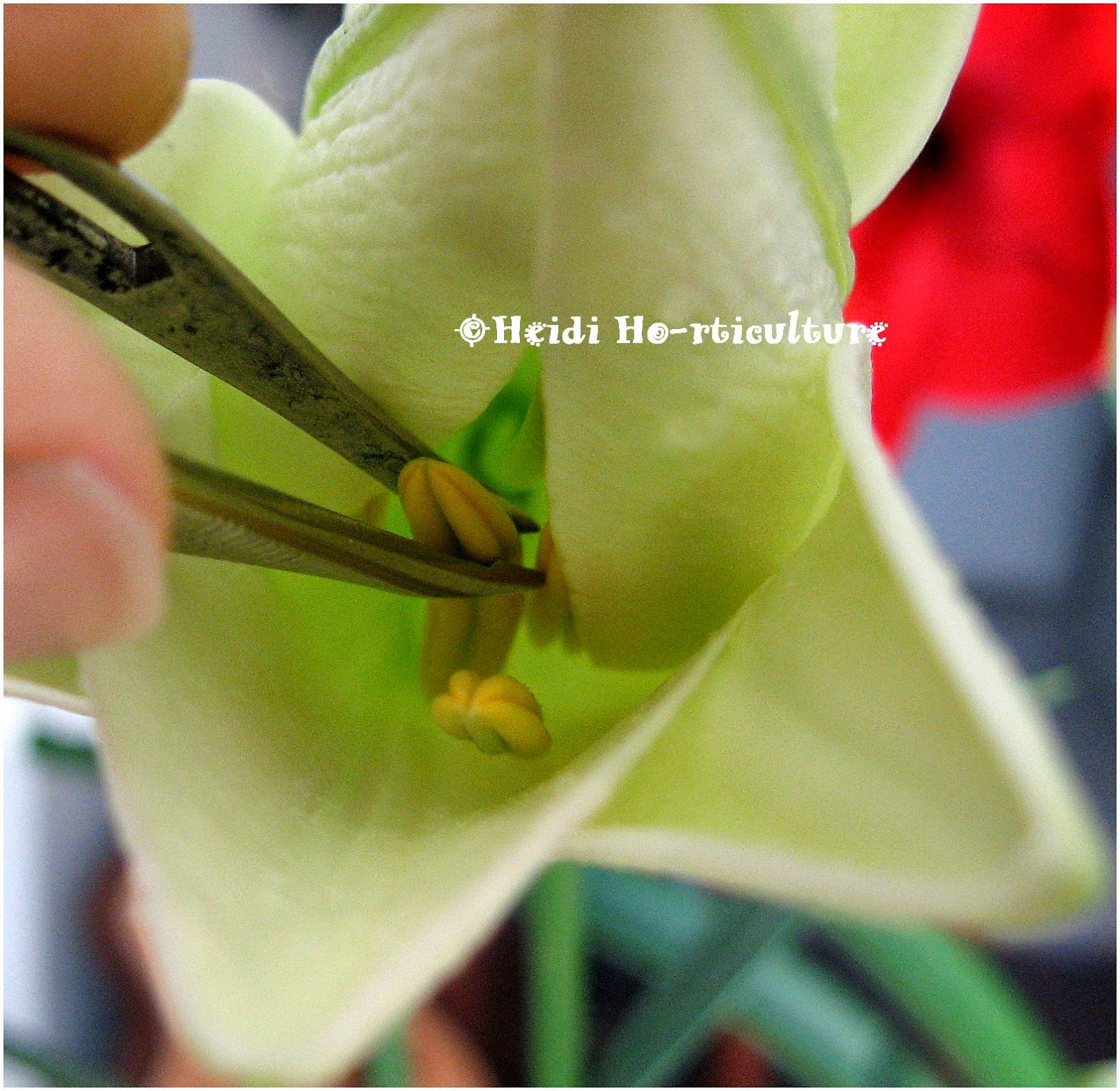 Heidi horticulture removing lily flower anthers to lengthen bloom time once the flower begins to open gently remove the anthers either with your fingers or better yet with a pair of tweezers like above izmirmasajfo Choice Image