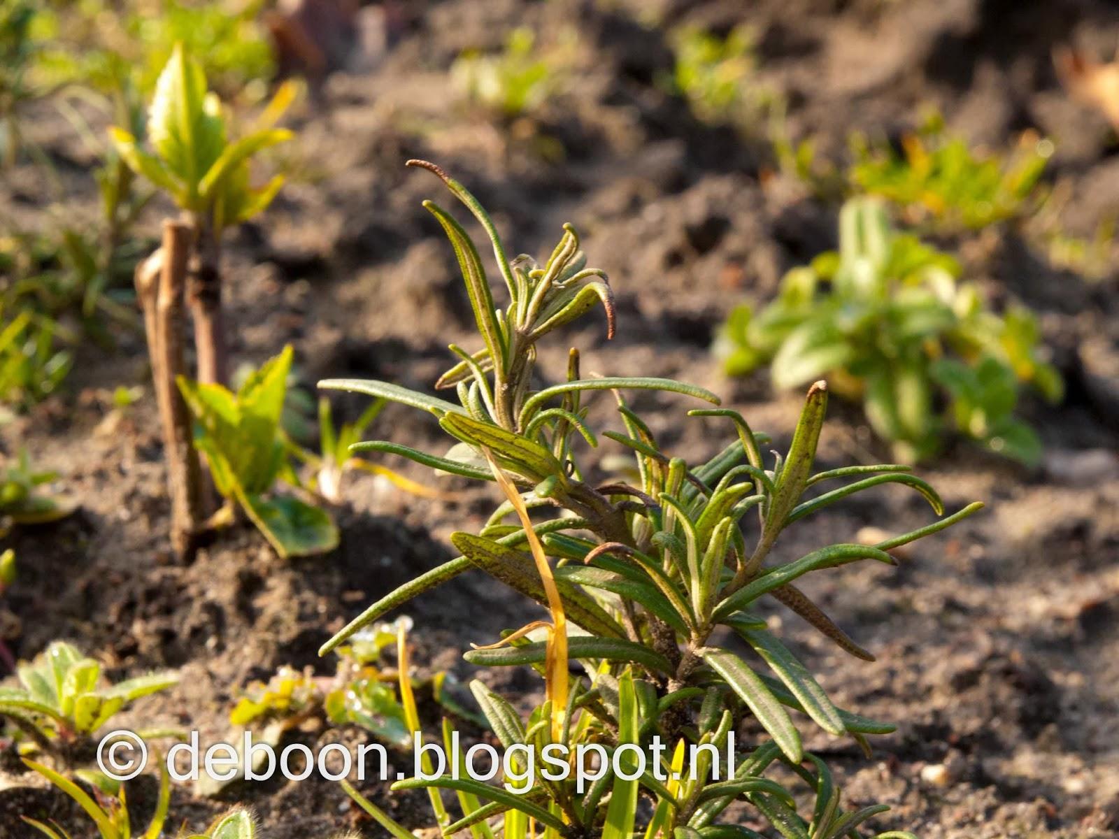 rozemarijn stekken voorjaar moestuin volkstuin