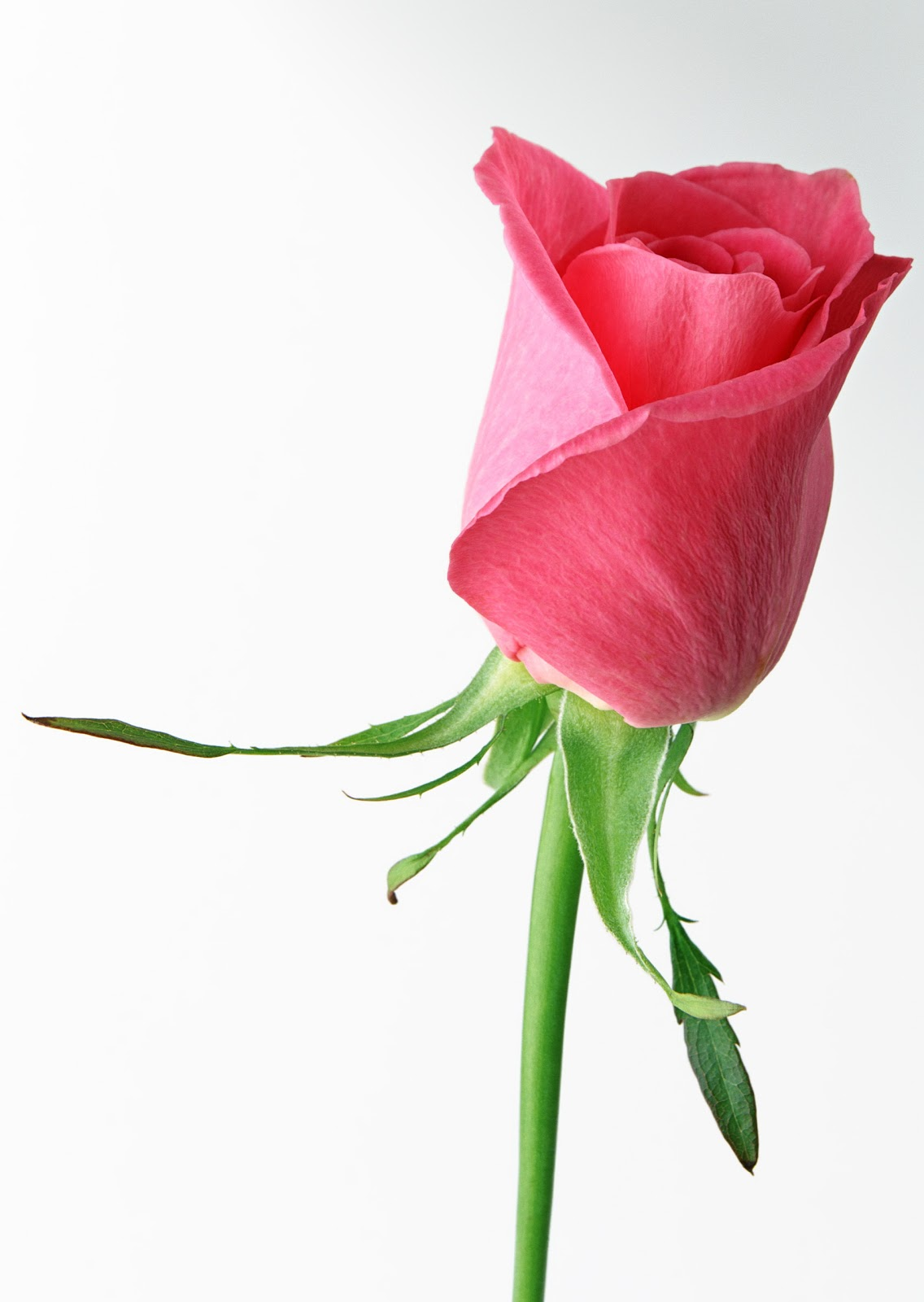 Single Hot Pink Rose