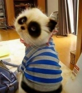 Funny cats pictures - Panda
