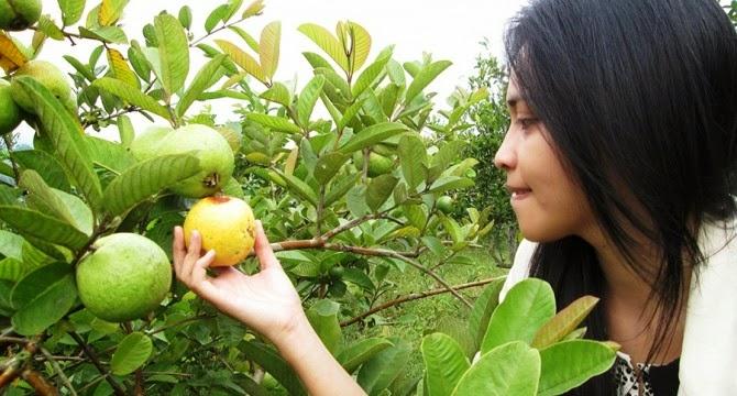Wisata Petik Buah (Apel, Strawberry dsb)