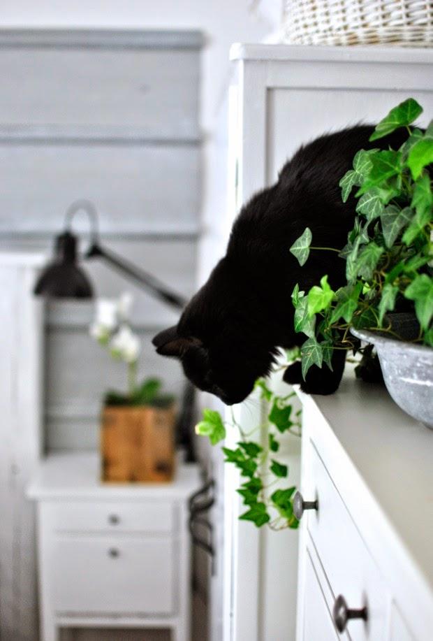 svart kattunge murgröna