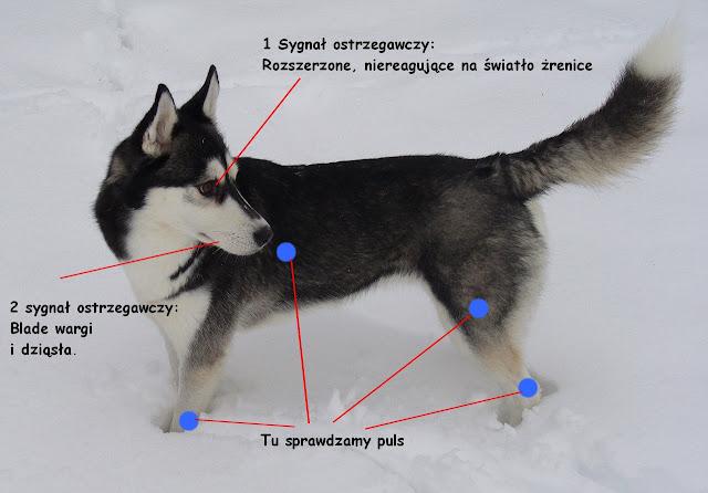 krążenie u psa