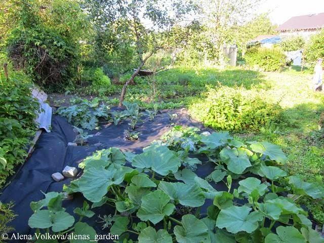 кабачки, спанбонд, агротекс, агроволокно, агропленка, лутрасил, выращивание, прорези