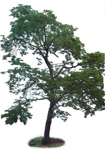 Nj n cleo de jardinagem escola parque c e c r planta for Planta ornamental jacaranda