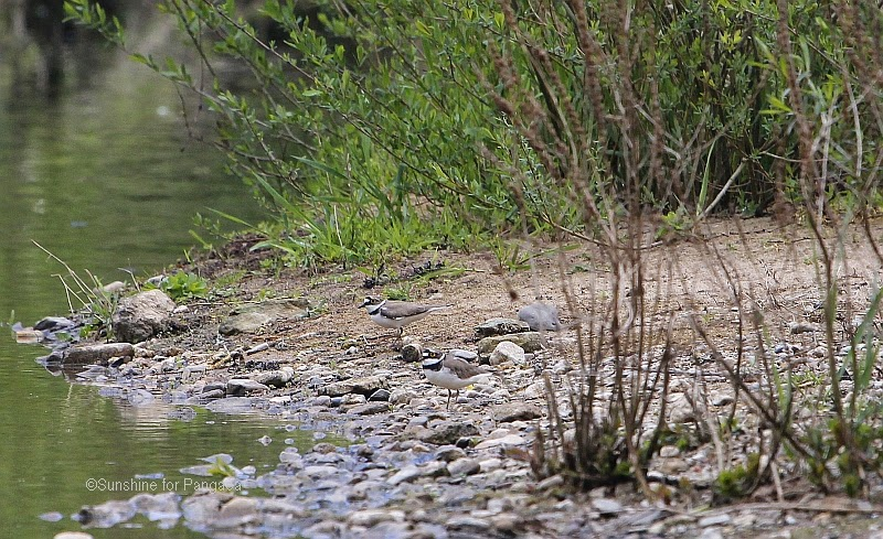 Little-ringed Plovers on a river bank