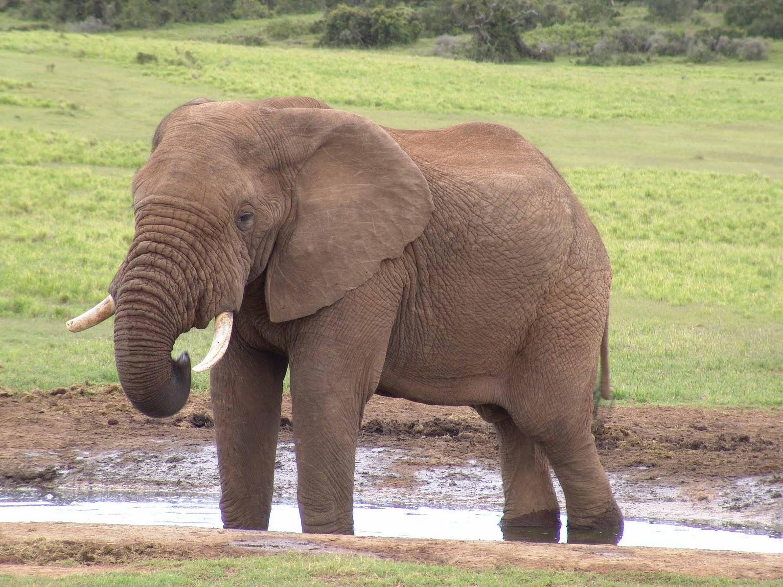 olifanten achtergronden bureaublad - photo #13