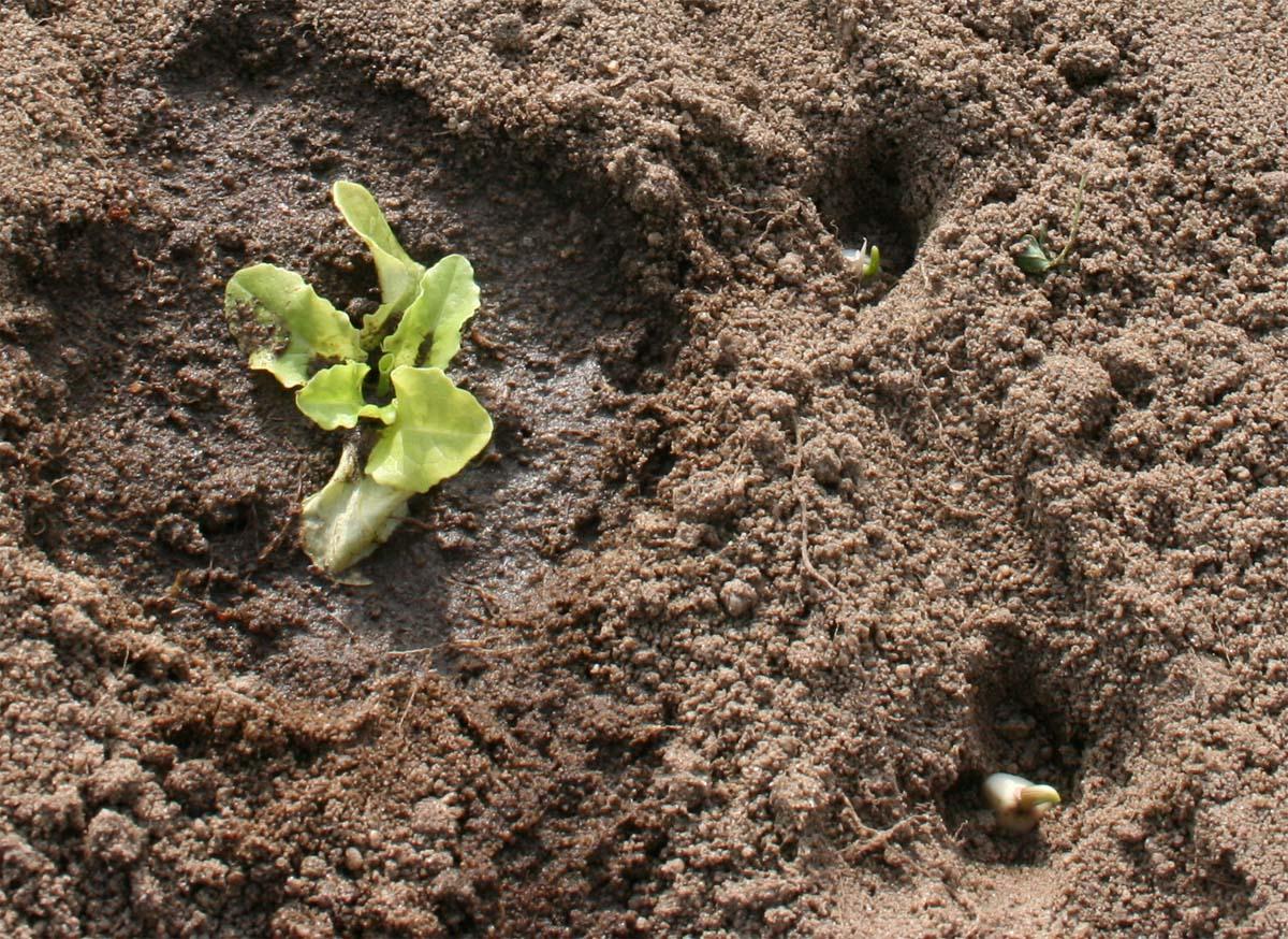 Jardinetbricole premi res plantations au jardin l 39 ail for Plantation jardin