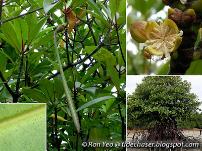 Bakau Minyak (Rhizophora apiculata)
