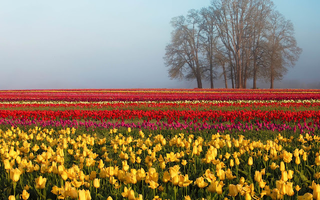 Foto van een veld vol gekleurde tulpen in de lente
