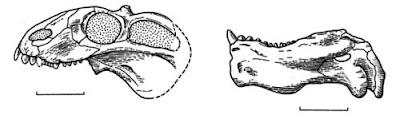 Venjukovia skull
