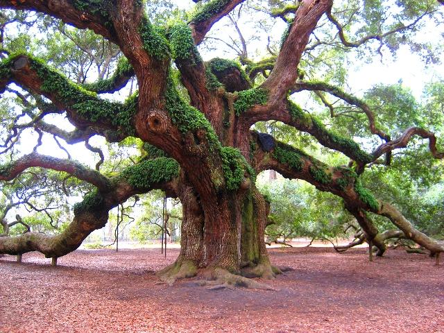Quercus robur Roble Común 400años