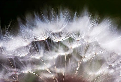 20 best dandelion flowers wallpapers
