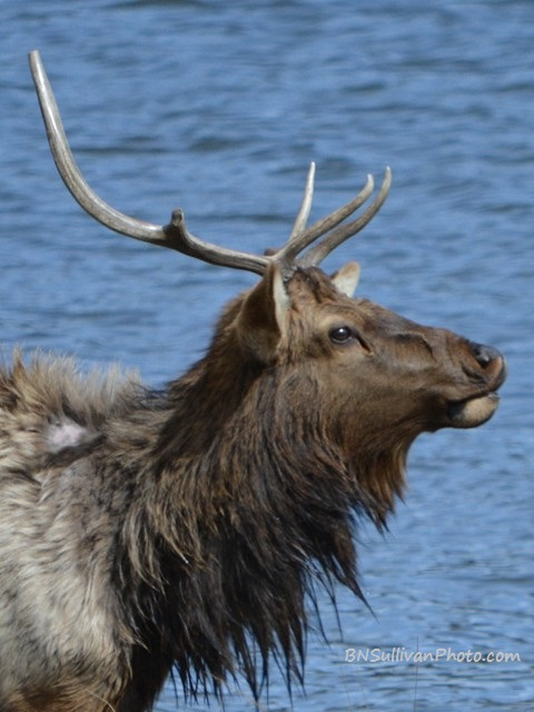 Bull Elk in profile