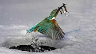 Kingfisher Hunting Wallpaper