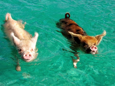Pig Beach, also known as Pig Island.  It's an uninhabited island located in the Bahamas. via lostateminor