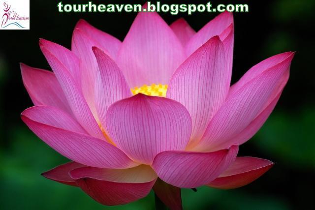 Lotus : It also known as Indian Lotus, Sacred Lotus, Bean of India.