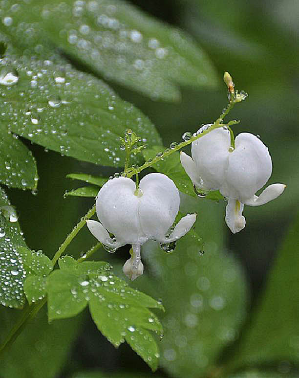 Dicentra Spectabilis 'Bleeding Heart' by Diane Perlin Hock