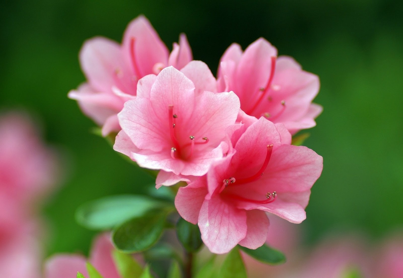 azalea flowers hd wallpapers hd wallpapers
