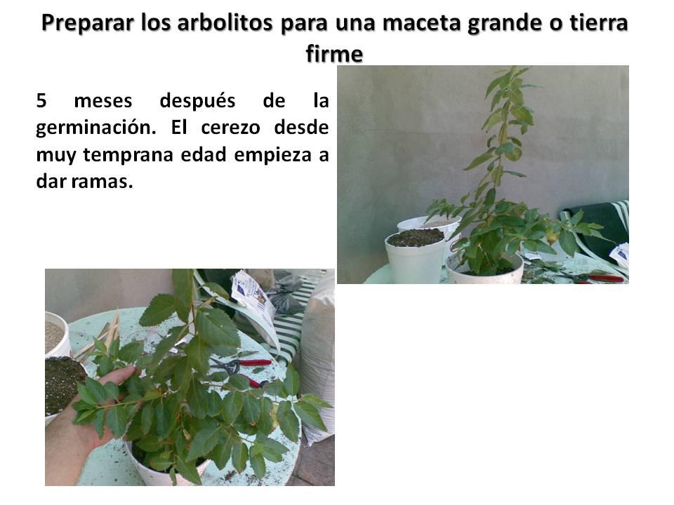 como germinar semillas de cerezo japones   proceso de germinacion