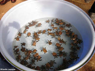 108 Baby Hawksbill turtles