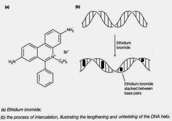 intercalation of EtBr with DNA