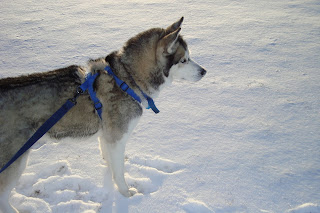 Siberian Husky Snow Dogs HD Wallpapers