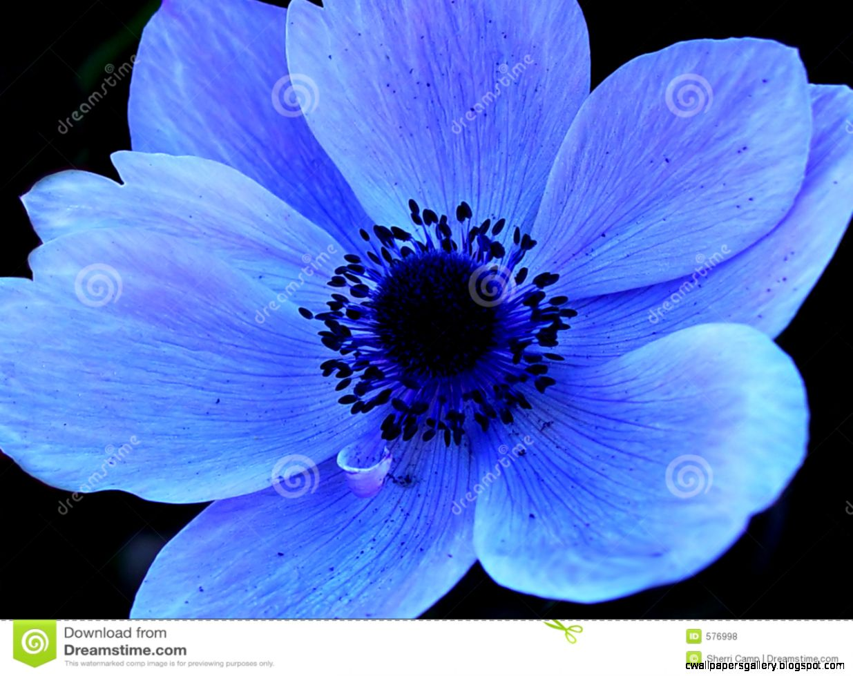 Blue Single Flower Macro Royalty Free Stock Photos   Image 576998
