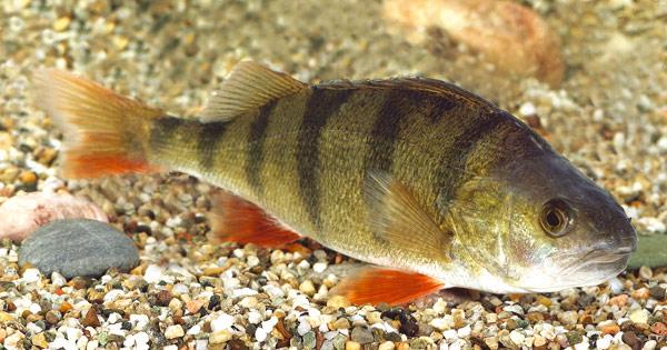 Il pesce persico massamagra pesce alleato della dieta - Cucinare pesce persico ...