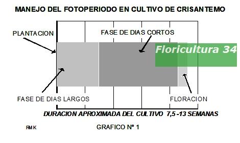 Floricultura 34 cultivo de crisantemos mediante el - Como cultivar crisantemos ...
