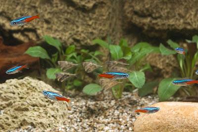 Neon Innesa - ryby akwariowe - zdjęcia 05