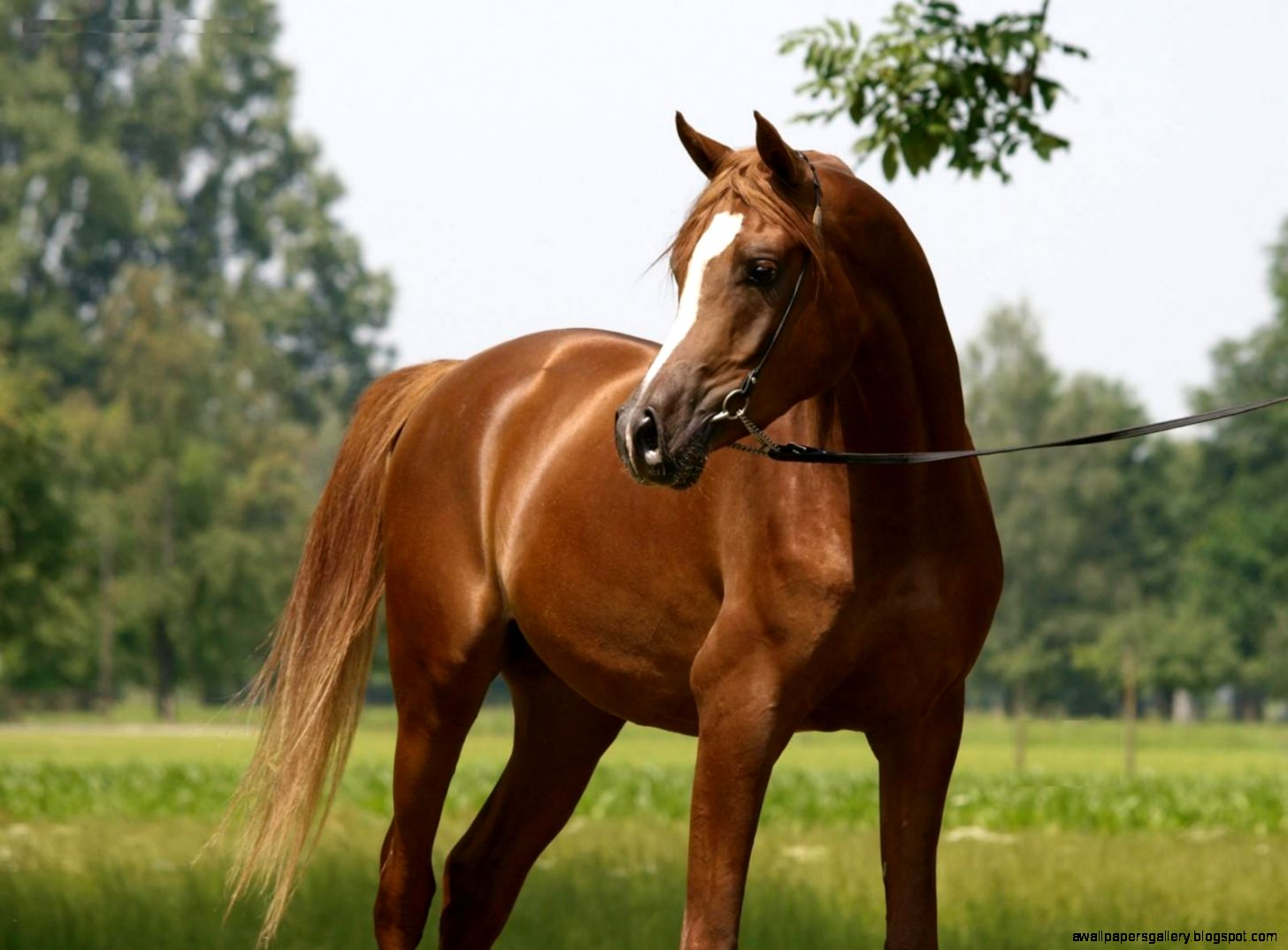 Chestnut horse wallpapers - photo#3