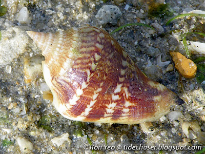 Marginate Conch (Margistrombus marginatus)