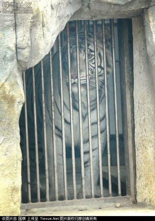Lelaki Terselamat Dari Serangan Harimau