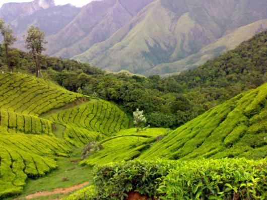 Tea Gardens at Munnar, Kerala
