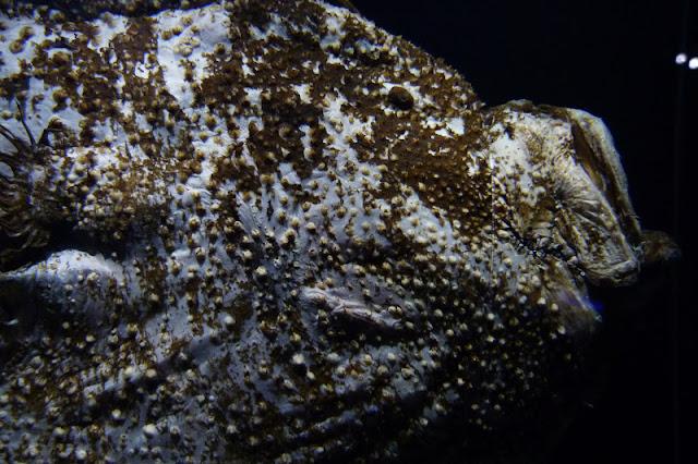 Anglerfischweibchen in der Tiefsee-Ausstellung im Lokschuppen Rosenheim