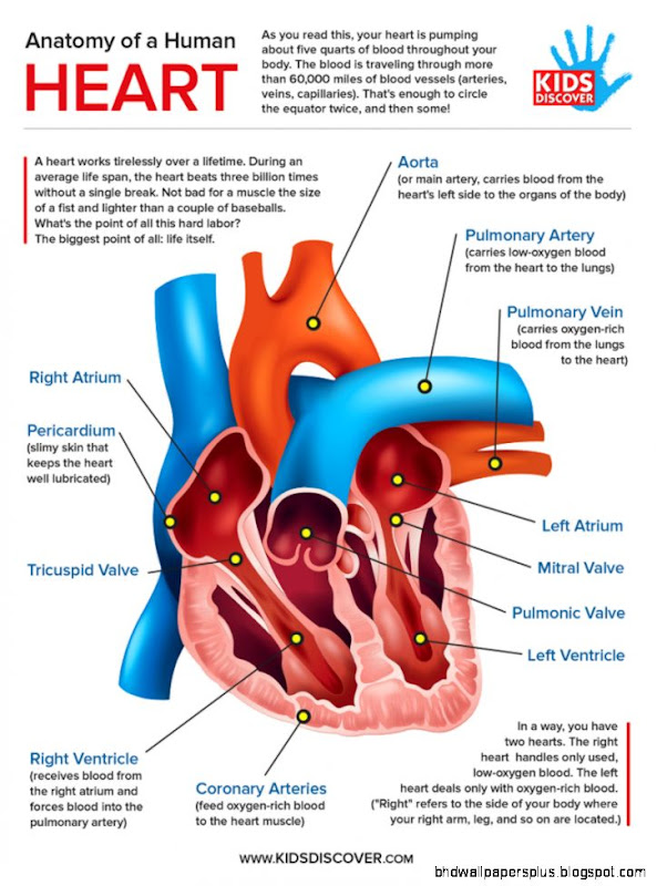 Infographic Anatomy of the Human Heart   KIDS DISCOVER