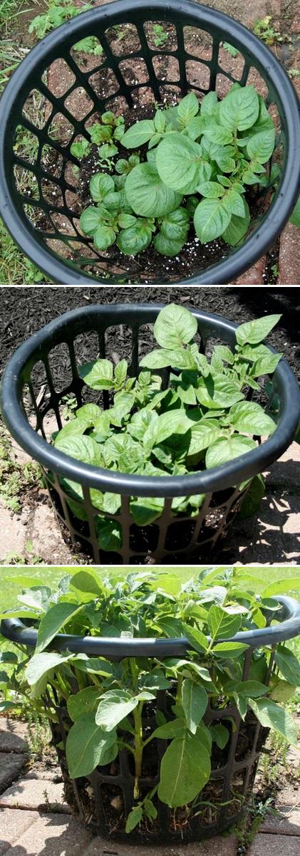 Выращивание картофеля дома 29