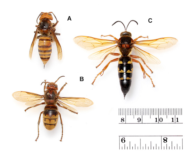 Three Wasps Ncsu Pdic Are Asian Or Japanese Giant Hornets In The