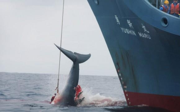 Japón vuelve a cazar ballenas en la Antártida tras un año de suspensión