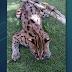 LOOK: Rare Visayan leopard cat caught in Bingawan, Iloilo