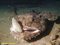 monkfish attack and eating