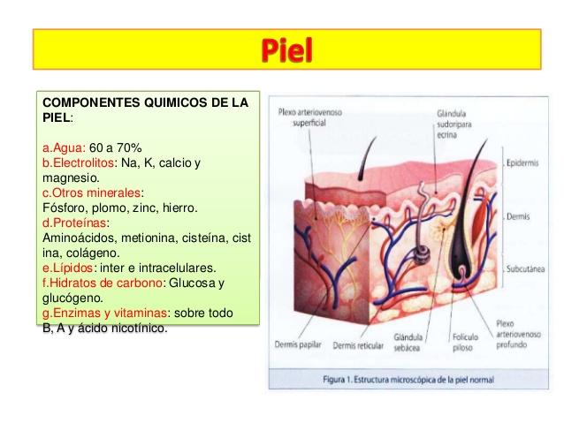Anatomía y fisiología de la piel | Dermocosmiatria