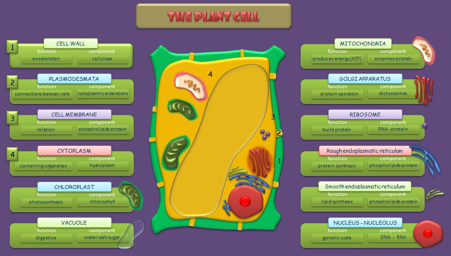 Flowering Plant Diagram Plant Cell Diagram