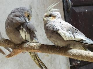 Jual burung Falk atau cockatiel