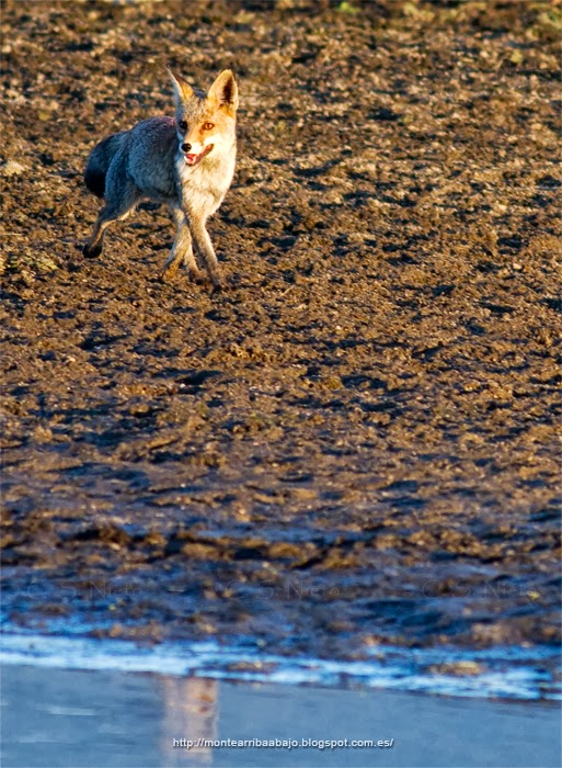 Zorro común corriendo al lado del río Tiétar