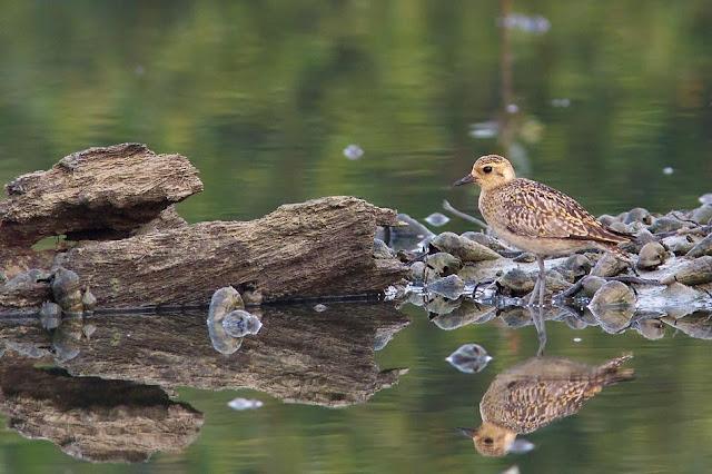 Pacific Golden Plovers