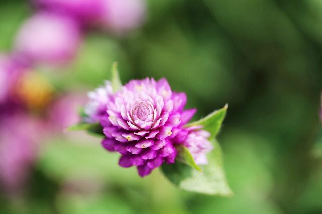 Gomphrena Flower #nature #flower #garden