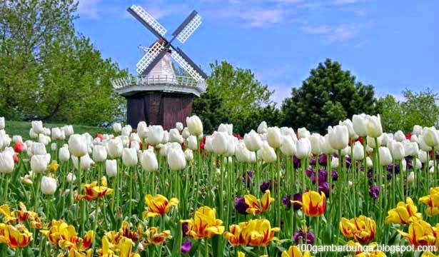 [GAMBAR-BUNGA] gambar pemandangan bunga tulip di Belanda